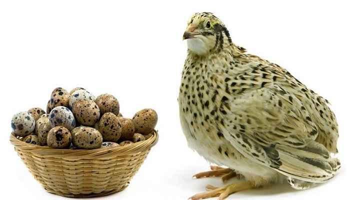 مقایسه تخم مرغ وشترمرغ وسایرماکیان