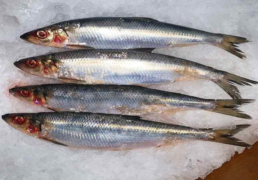 استفاده از ماهی سفید بجای ماهی ساردین وقزل آلا
