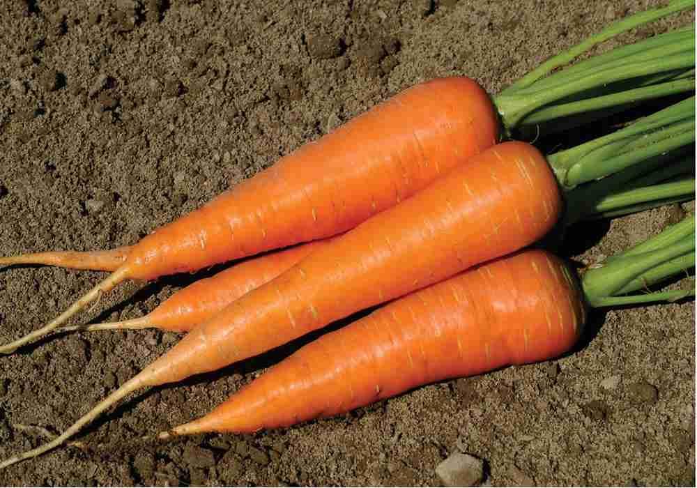 خوردن ریشه هایی مثل هویج و چغندر برای بلغمی مزاج ها مفید استasemari.ir