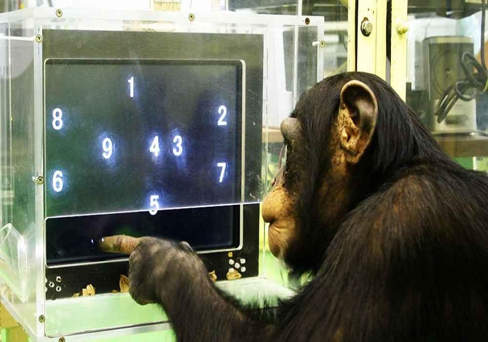 شامپانزه از باهوشترین حیوانات-asemari.ir